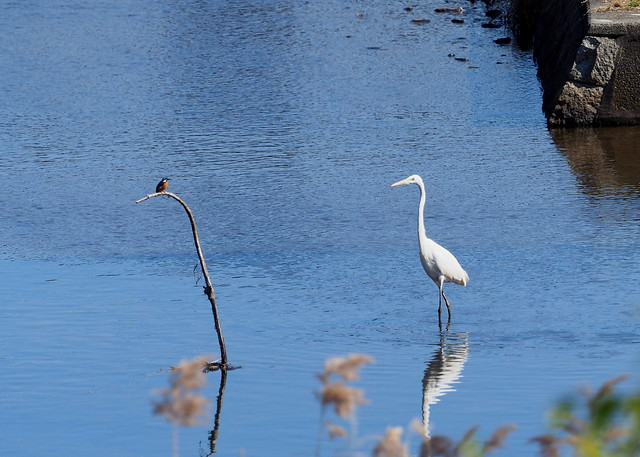 Common kingfisher (カワセミ) and great egret (ダイサギ)
