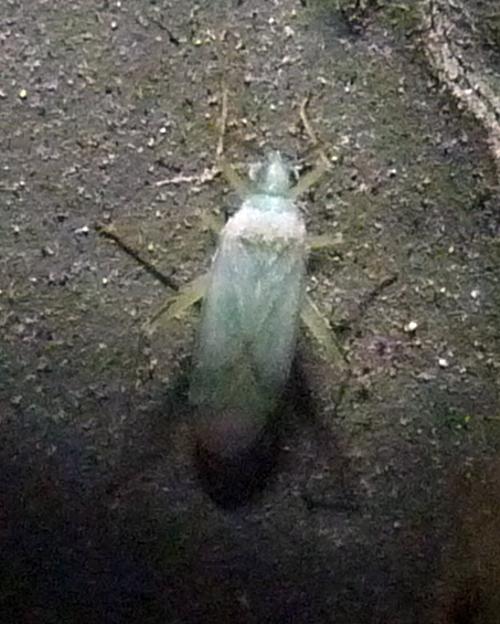 Blepharidopterus provancheri 49524808146_aa3d308eb9_o