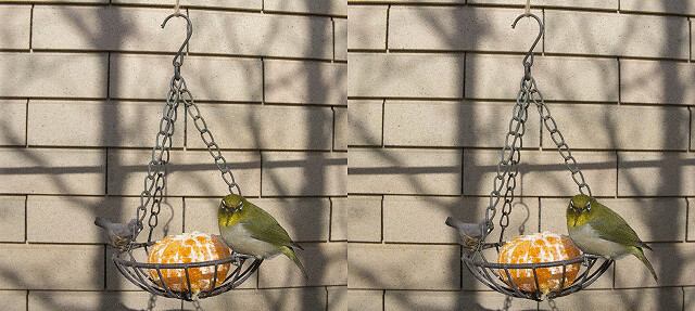 Zosterops japonicus, stereo parallel view, GIF animation