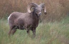 Munching Ram
