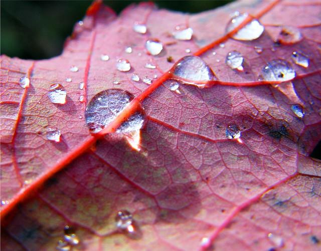 Drops on Autumn Leaf