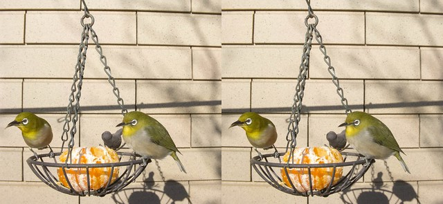 Zosterops japonicus, stereo parallel view