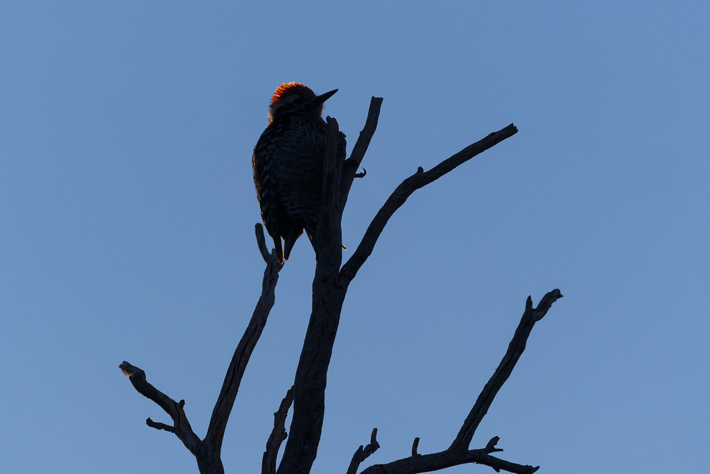 A ray of light illuminates the red crest of the silhouetted form of a ladder-backed woodpecker perched in a tree on the Chuckwagon Trail in McDowell Sonoran Preserve in Scottsdale, Arizona in February 2020
