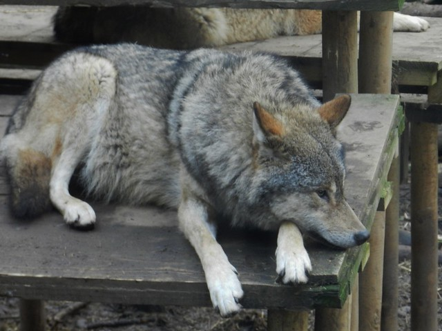 European Grey Wolf, Highland Wildlife Park, Kincraig, Jan 2020
