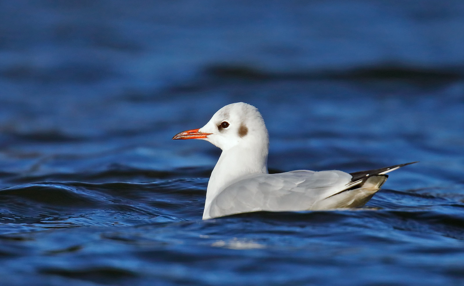 Black-headed Gull - adult winter