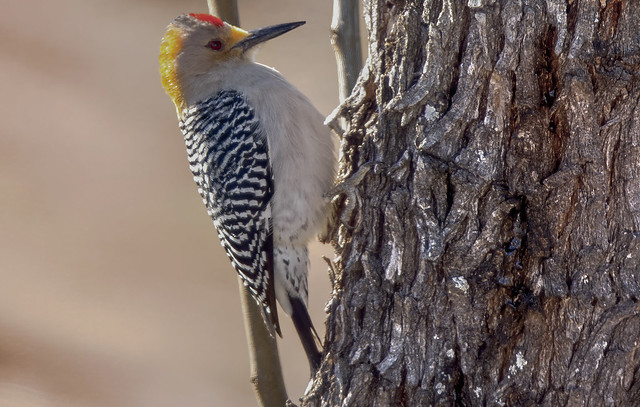 Golden-Fronted Woodpecker 6
