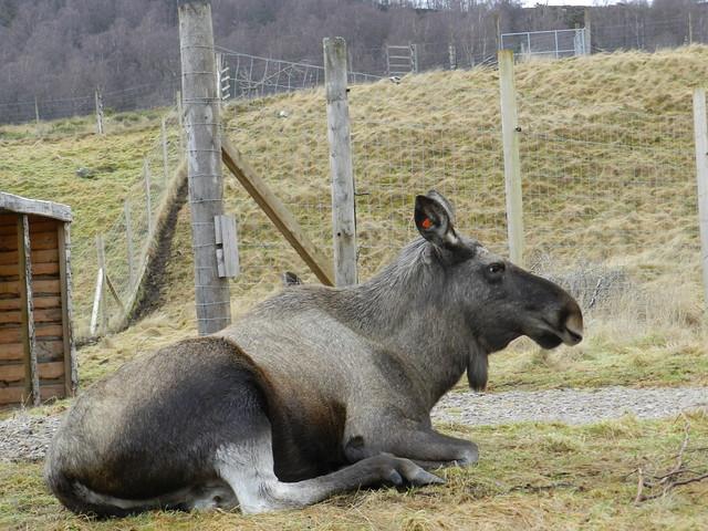 Eurasian Elk, Highland Wildlife Park, Kincraig, Jan 2020