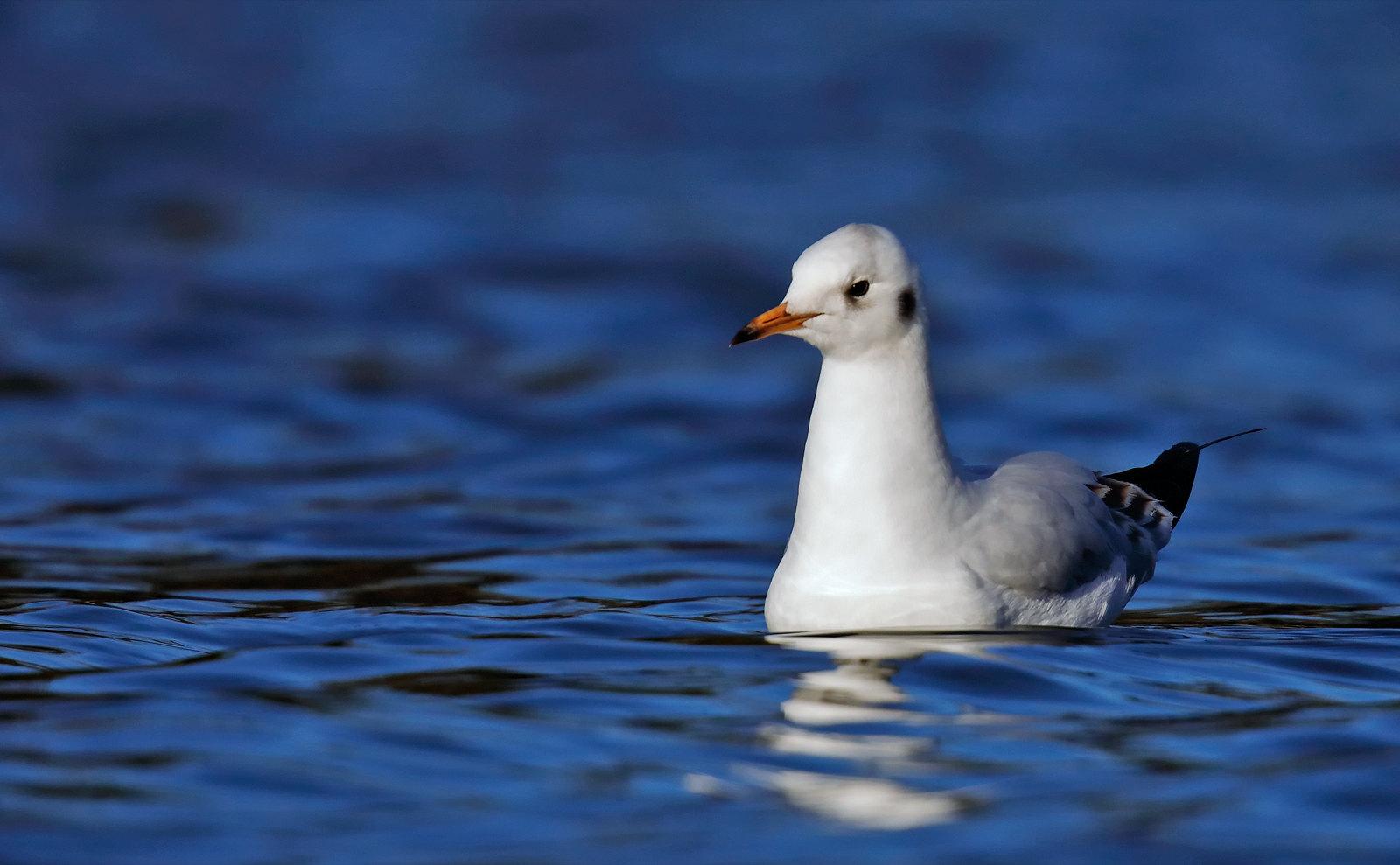Black-headed Gull - 1st winter