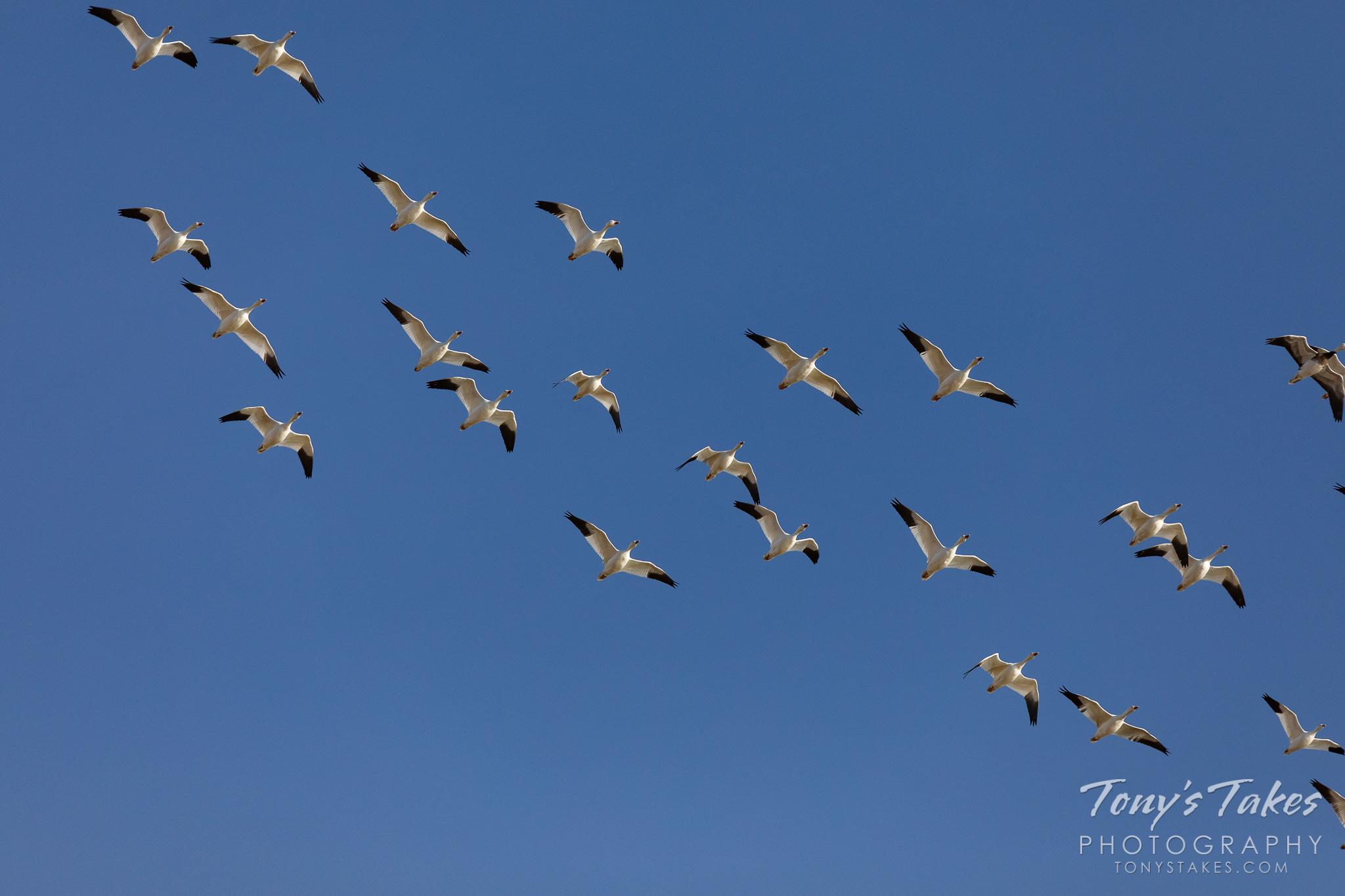 Snow geese migrating through
