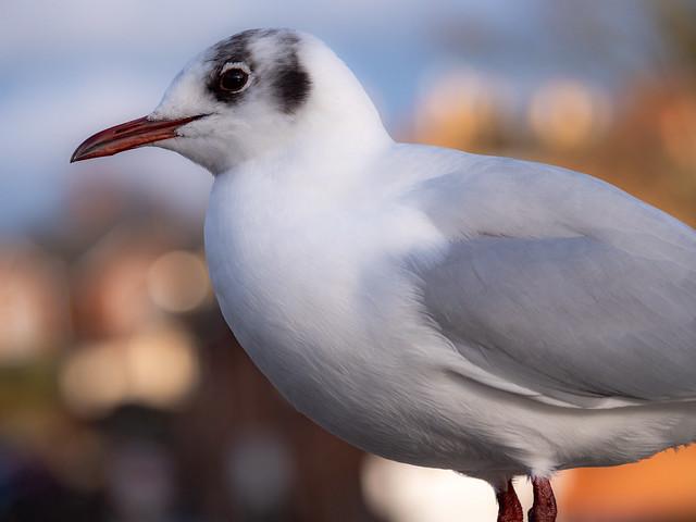 Side Gull
