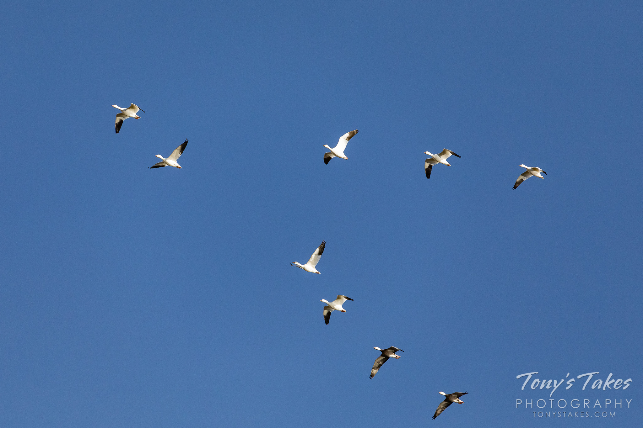 Snow geese in the skies over eastern Colorado as they migrate north. (© Tony's Takes)