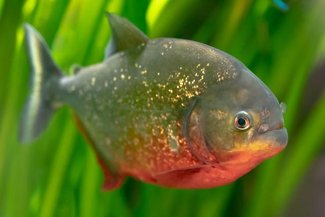 The killer | Red-bellied piranha