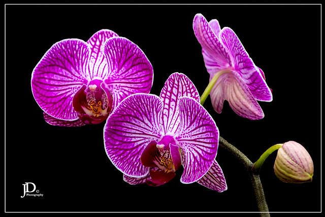 Phalaenopsis hybrid - Doritaenopsis-1