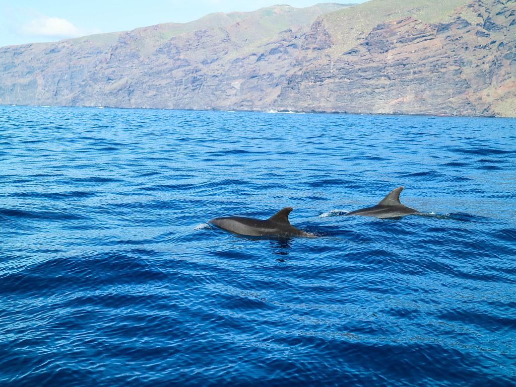Delfines en excursiones para ver delfines y ballenas en Tenerife