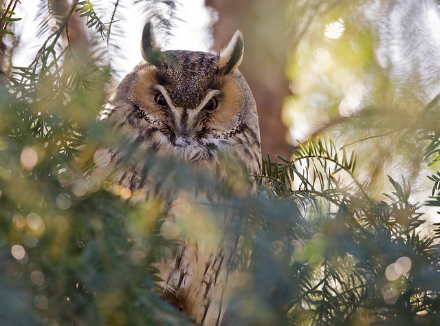 Long-eared owl - Waldohreule
