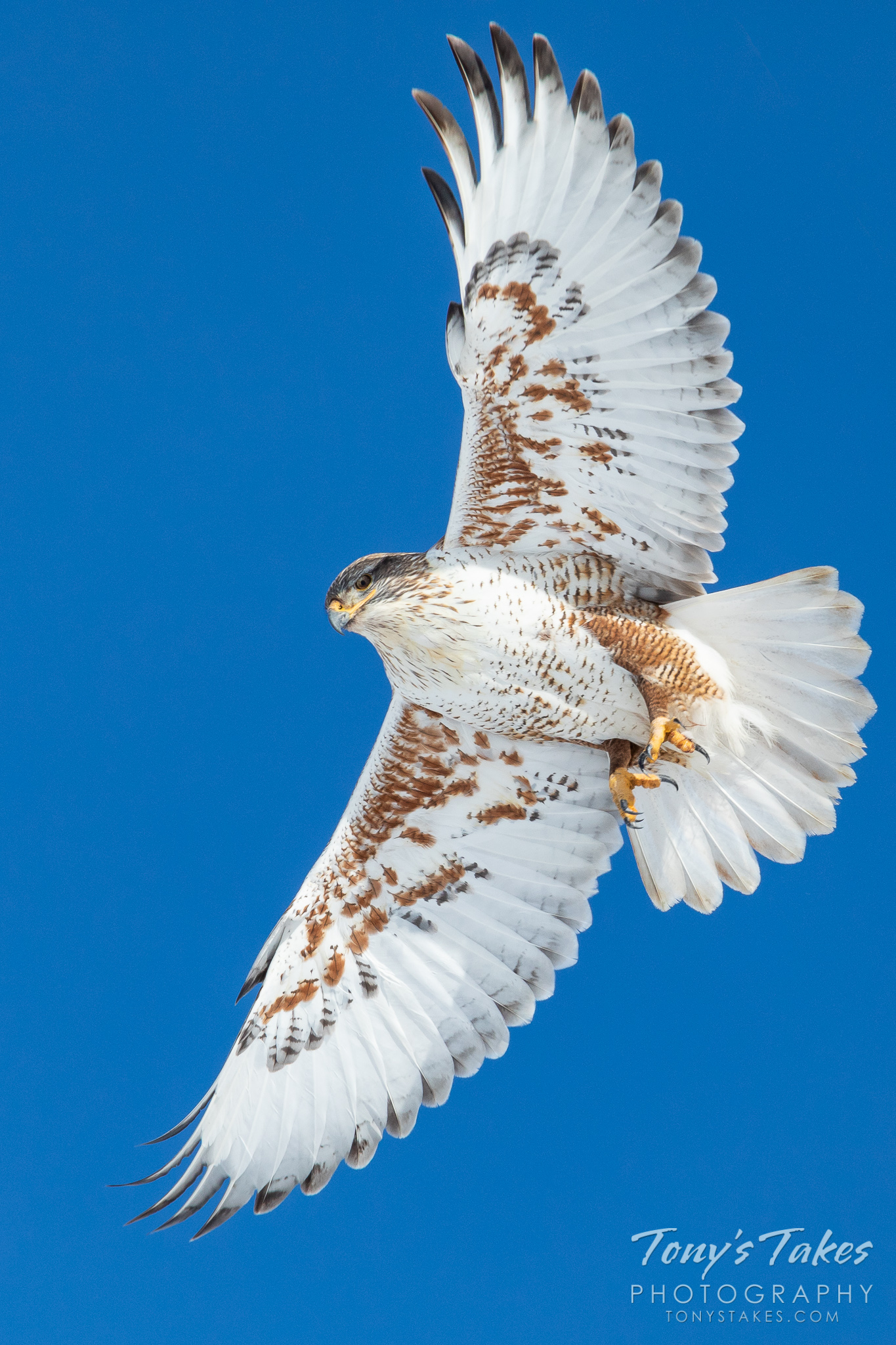 Ferruginous hawk showcases its beautiful plumage