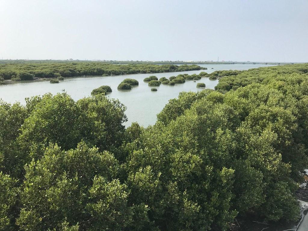 水筆仔與海茄苳為台灣紅樹林中最優勢的樹種。圖為朴子溪口濕地的海茄苳。圖片來源:海保署提供。