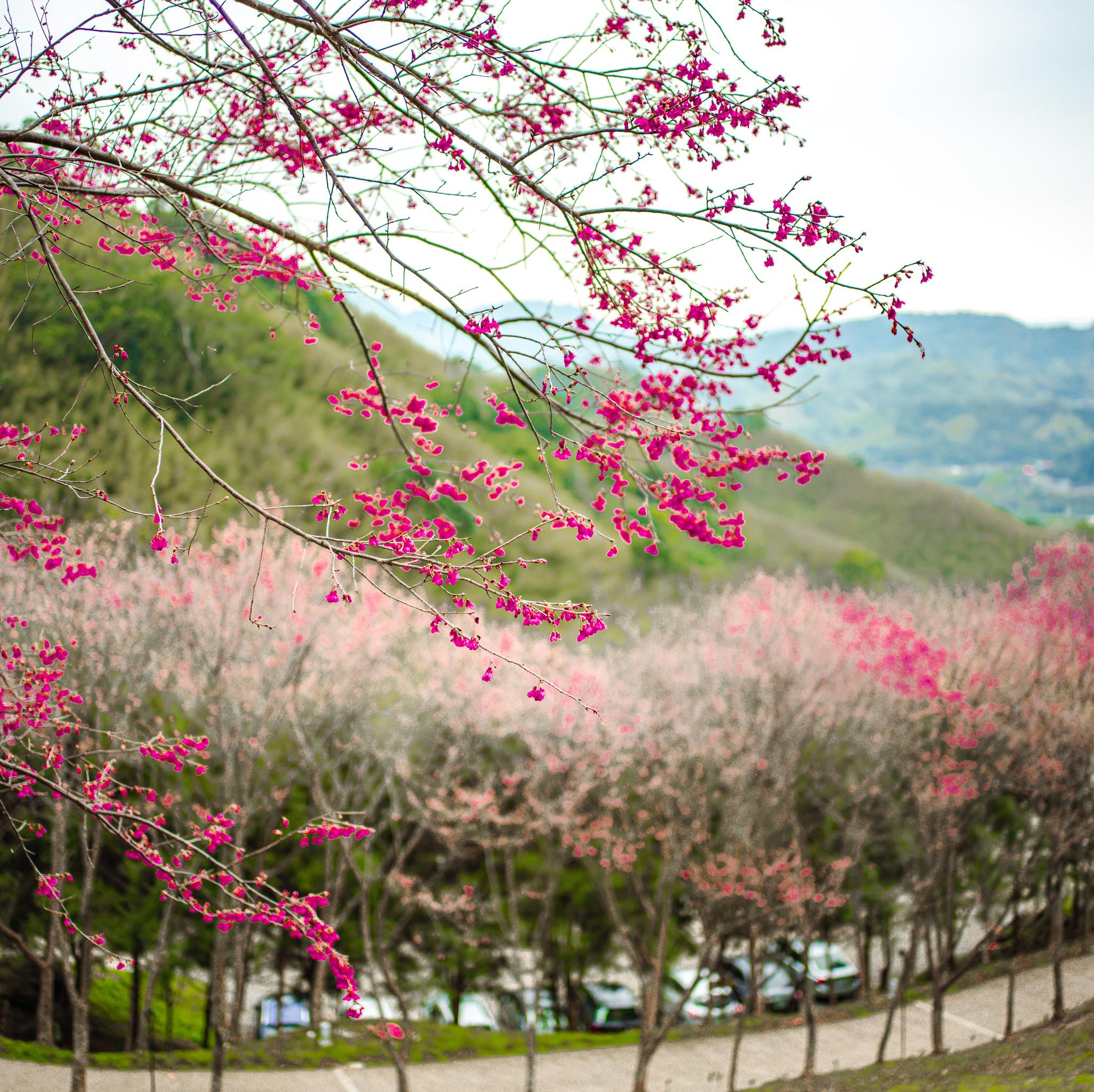 翠墨莊園櫻花季