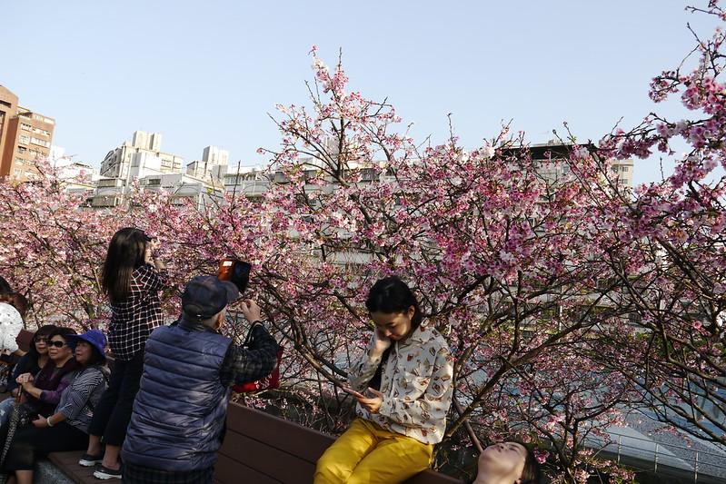 樂活公園櫻花開2020
