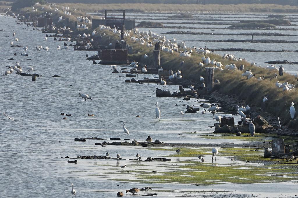 嘉義鹽田成為鳥類棲息天堂,人為輕度的介入也是原因之一。攝影:許震唐