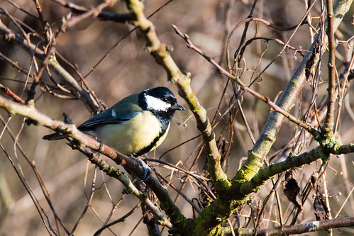 Queueing for the feeders: great tits