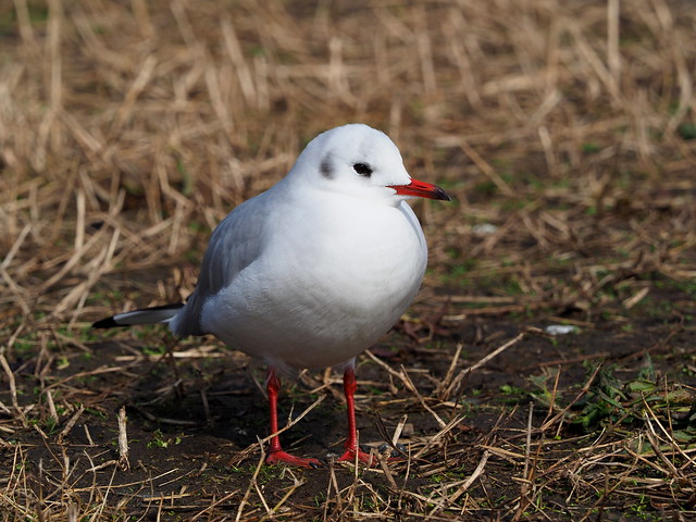 Black-headed gull (Chroicocephalus ridibundus, ユリカモメ)