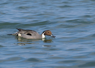 Northern pintail male (Anas acuta Linnaeus, オナガガモ) | by Greg Peterson in Japan