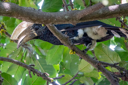 Silvery-cheeked Hornbill male, Calao à joues argent | by Laurent Esselen