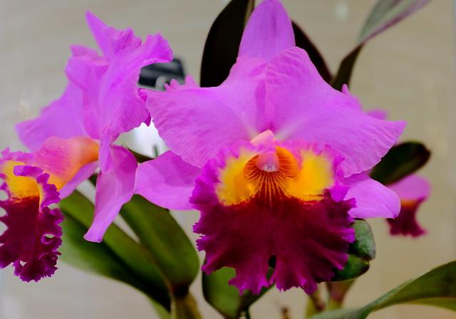 Cattleya orchid (カトレア)