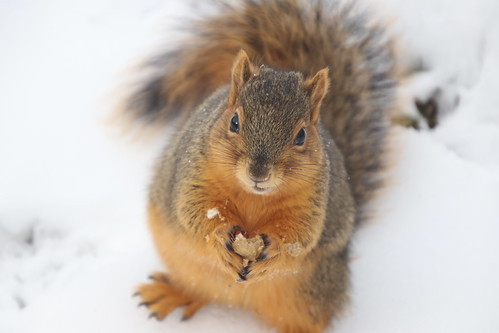 Fox Squirrels on a Snowy Winter's Day in Ann Arbor at the University of Michigan - 43/2020 246/P365Year12 4263/P365all-time (February 12, 2020)