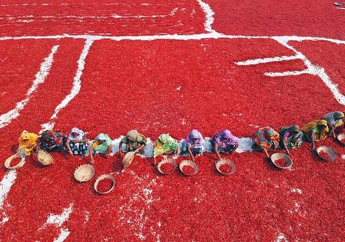bangladesh bogra red chili dry yard aerial drone