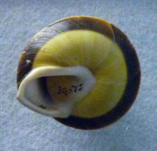 Caracolus marginella 49529115446_aa3434ce8e_o