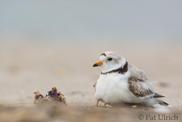 Piping plover sheltering its chick