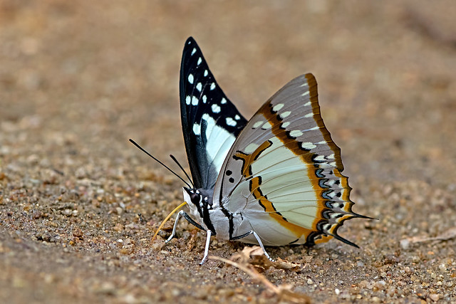 Polyura eudamippus - the Great Nawab