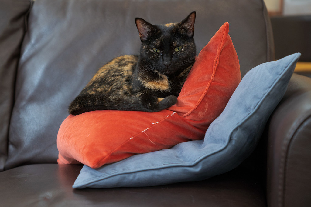 Our cat Trixie rests atop two pillows on the couch in our home in Scottsdale, Arizona in February 2020