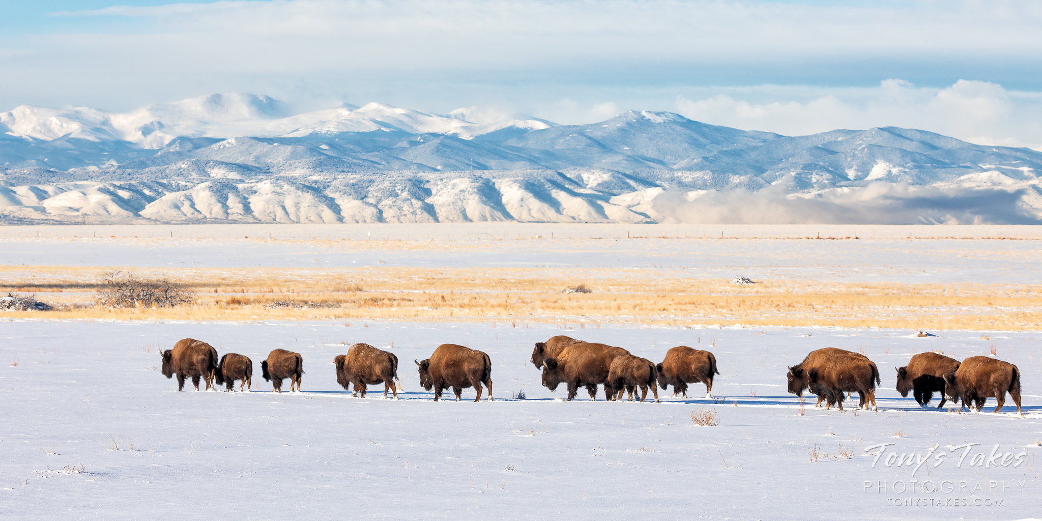 A bison herd on the move through fresh snow with the Rocky Mountains in the distance. (© Tony's Takes)