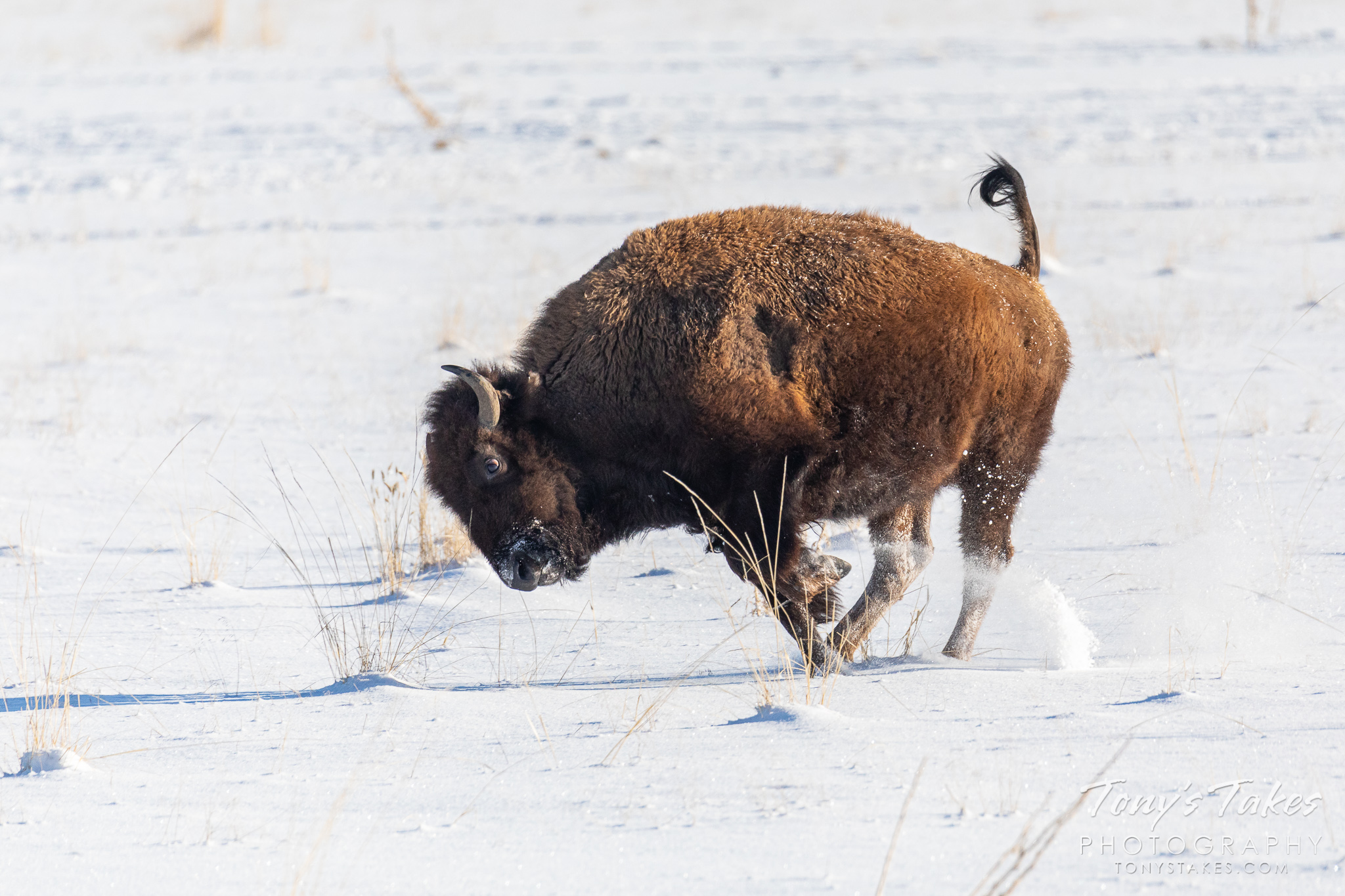 A bison cow bounces through the fresh snow on the Colorado plains. (© Tony's Takes)