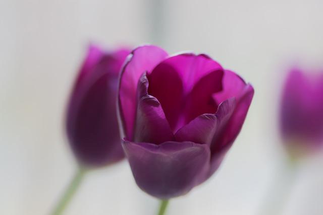 purple tulips in high key
