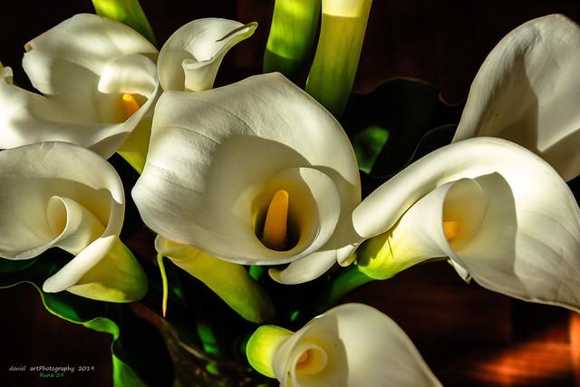 Flores de mi tierra, (Cala Japonesa)