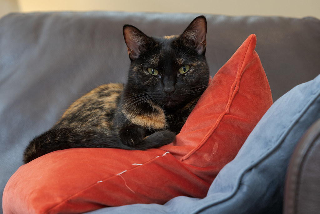 A closer view of our cat Trixie rests atop two pillows on the couch in our home in Scottsdale, Arizona in February 2020