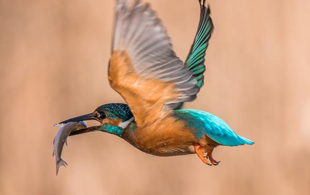 Flight / Kingfisher ❤️