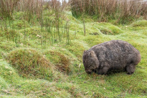 Wombat in Tasmania, Australia. Lonely Planet's Family Travel Tips: Top 5 Destinations for Multigenerational Travel