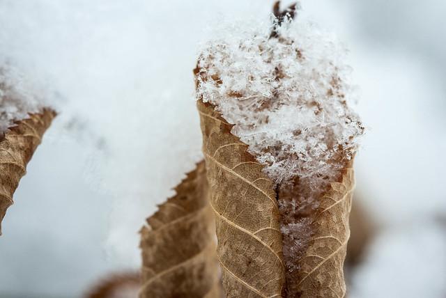 Magical snow and ironwood leaf