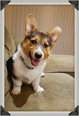 Our happy little boy, Jasper! #corgi