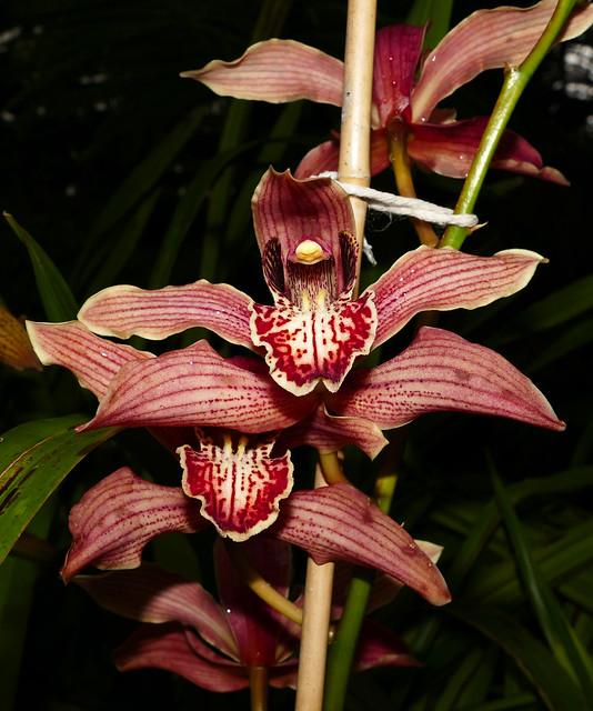 Cymbidium Memoria Leland Williams hybrid orchid 1-20