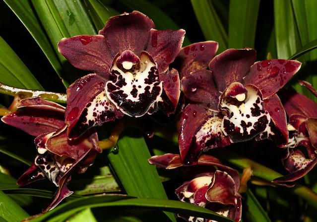 Cymbidium Leroy Naia peloric hybrid orchid 1-20