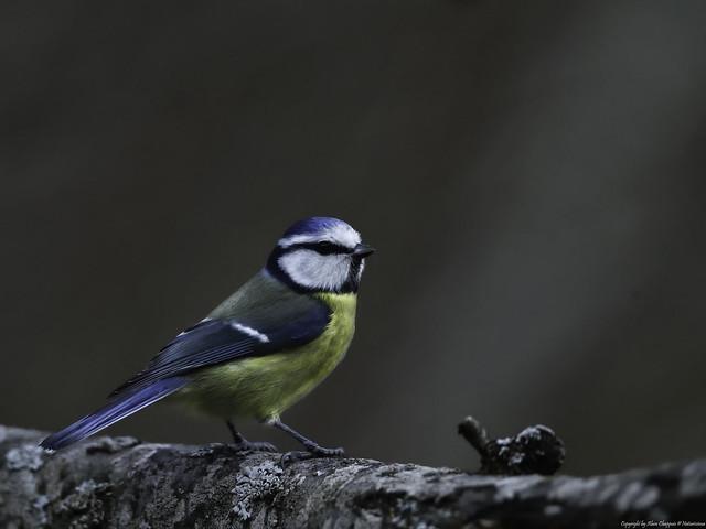 Mésange bleue (Cyanistes caeruleus) - Eurasian Blue Tit