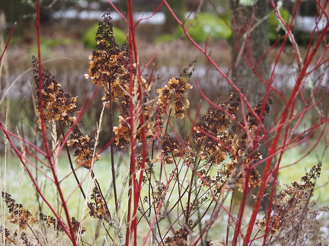 Hydrangea paniculata 'Pinky Winky' & Cornus alba