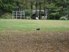 guinea hen, Merigold MS