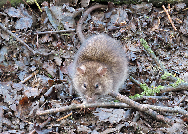 Brown Rat - Rattus norvegicus